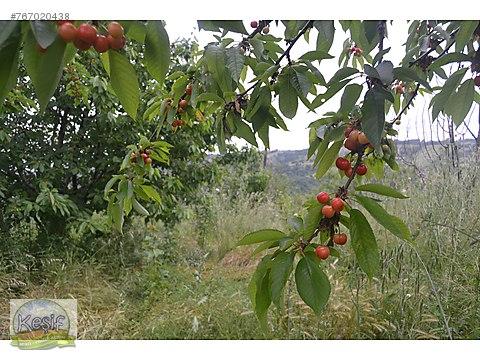 7.875 m2 Meyve Bahçesi Gönen Balıkesir.