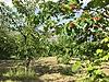 Köye Yakın Yol Kenarı 4500 M2 Hazır Meyva Ve Ceviz Bahçesi