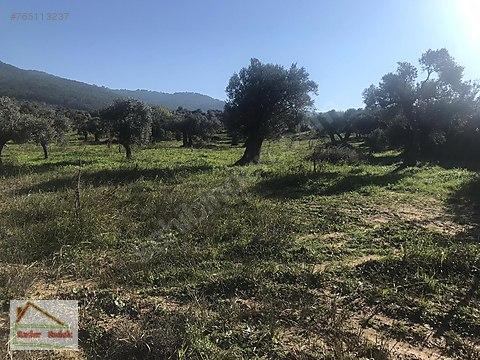 Torbalı Karakızlar Köyünde Zeytin ve Ceviz Bahçesi