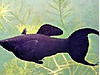 Hayvanlar Alemi / Akvaryum Balıkları / Canlı Doğuranlar / Black Molly