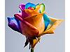 Her Yaprağı Farklı Gül - Gökkuşağı Gül Tohumu - 30 Tohum