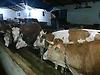 Güneş Hayvancılık Kars Satılık Gebe Yuklu #203524807