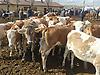 Kars Güneş Hayvancılık Kurbanlık Duve #220579995