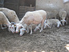 Damızlık Tahirova Koyunlar ve kuzular #131700104
