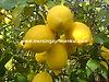 tarsus satılık limon bahçesi #236716046